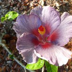 At Midnight Hibiscus Hybrid