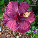 Black Dragon Hibiscus Hybrid