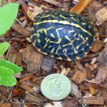 Florida Box Turtle Hatching