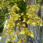 Dancing Lady Oncidium Orchid