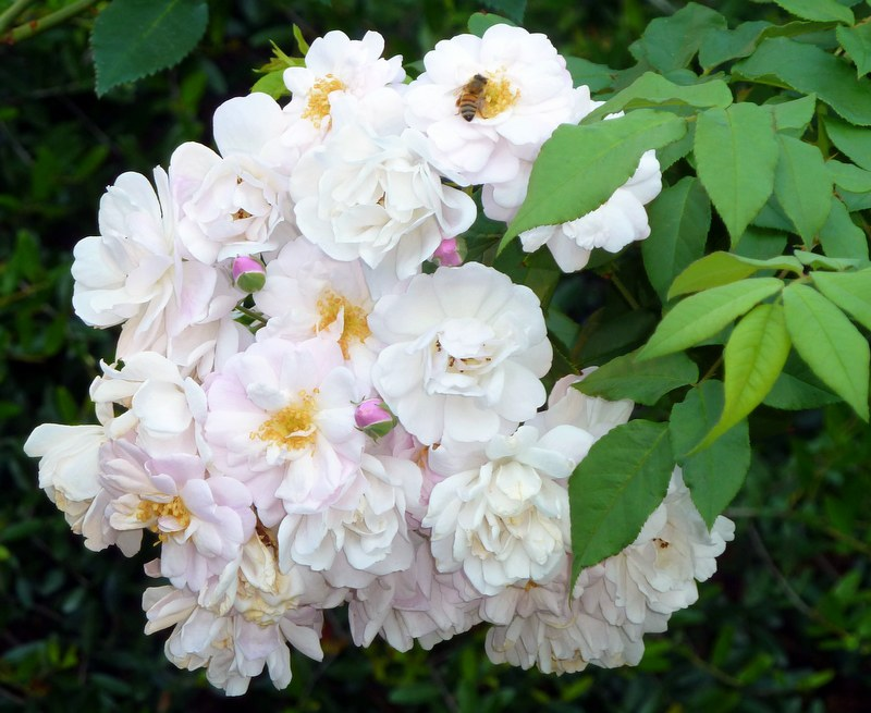 Antique Or Earthkind Roses Are Ever Blooming At Our