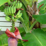 Banana Tree Fruit