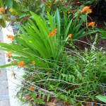 Epidendron Reed Orchids