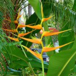 Parrot Heliconia